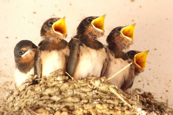 幸せの象徴つばめの巣作りやひなの保護法 | 贈り物・マナーの情報 ...