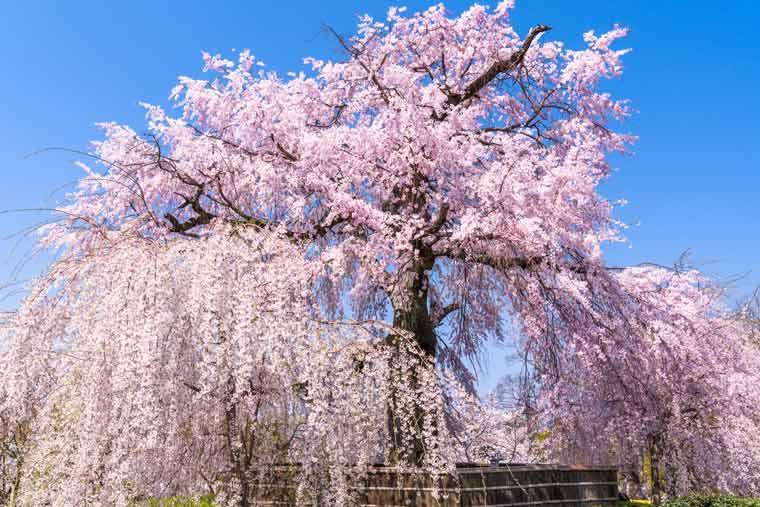 京都 桜の名所2021】夜桜ライトアップ・見頃・中止情報も 【楽天トラベル】