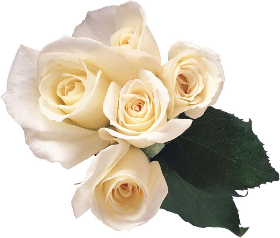 白い花の写真・フリー素材/No.560『白バラ・束・葉』
