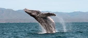 エル・ビスカイノのクジラ保護区|メキシコ|世界遺産オンラインガイド