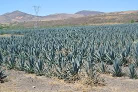 テキーラの古い産業施設群とリュウゼツランの景観 メキシコ 世界遺産 ...