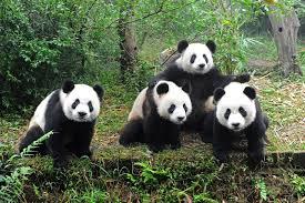 四川ジャイアントパンダ保護区群|中国|世界遺産オンラインガイド