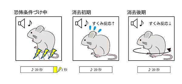 恐怖記憶を抑制するドーパミン信号 | 理化学研究所