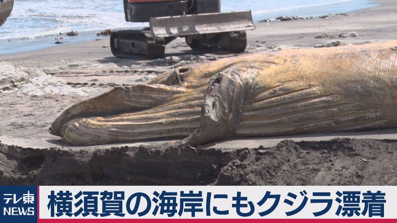 横須賀の海岸にもクジラ漂着 - YouTube