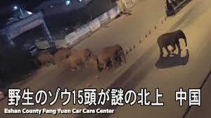 野生のゾウ15頭が謎の北上、都市部まで100キロ以内に到達 中国 - YouTubeの画像