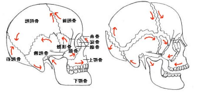 頭蓋骨縫合の触診   理学療法士・作業療法士・柔道整復師の臨床力を ...