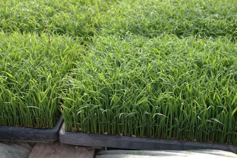 美味しいお米の作り方 田植え出来る苗に育てる|味の農園