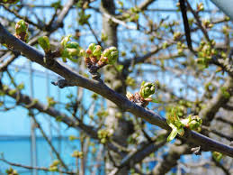 さくらんぼの蕾が凍る霜害とは|味の農園