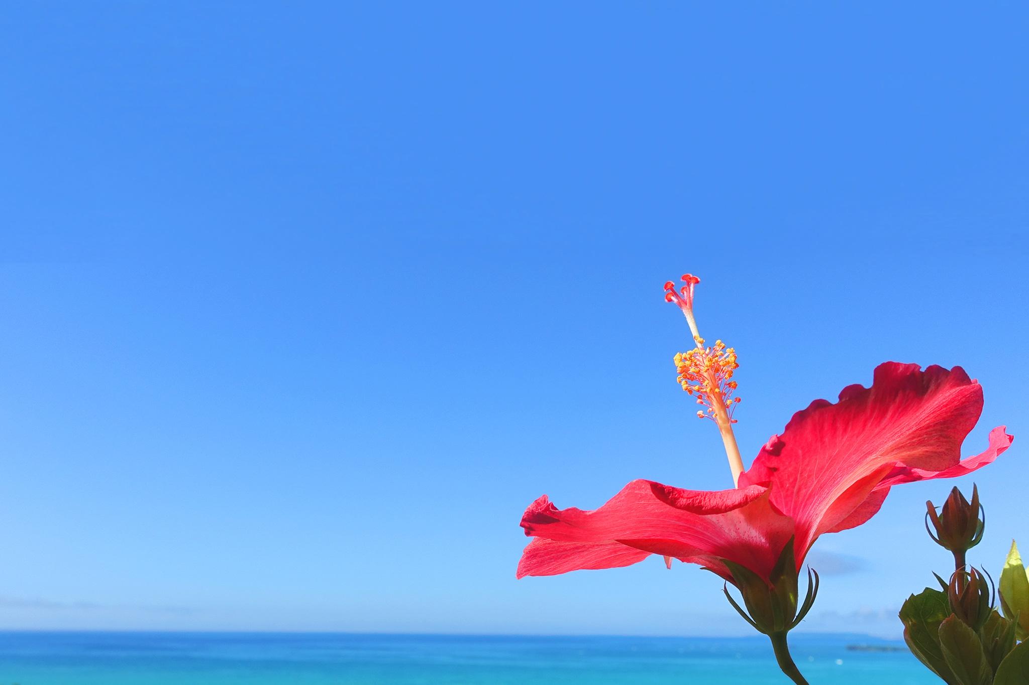 空に向かって元気に咲き誇る沖縄の赤いハイビスカスのフリー画像 ...