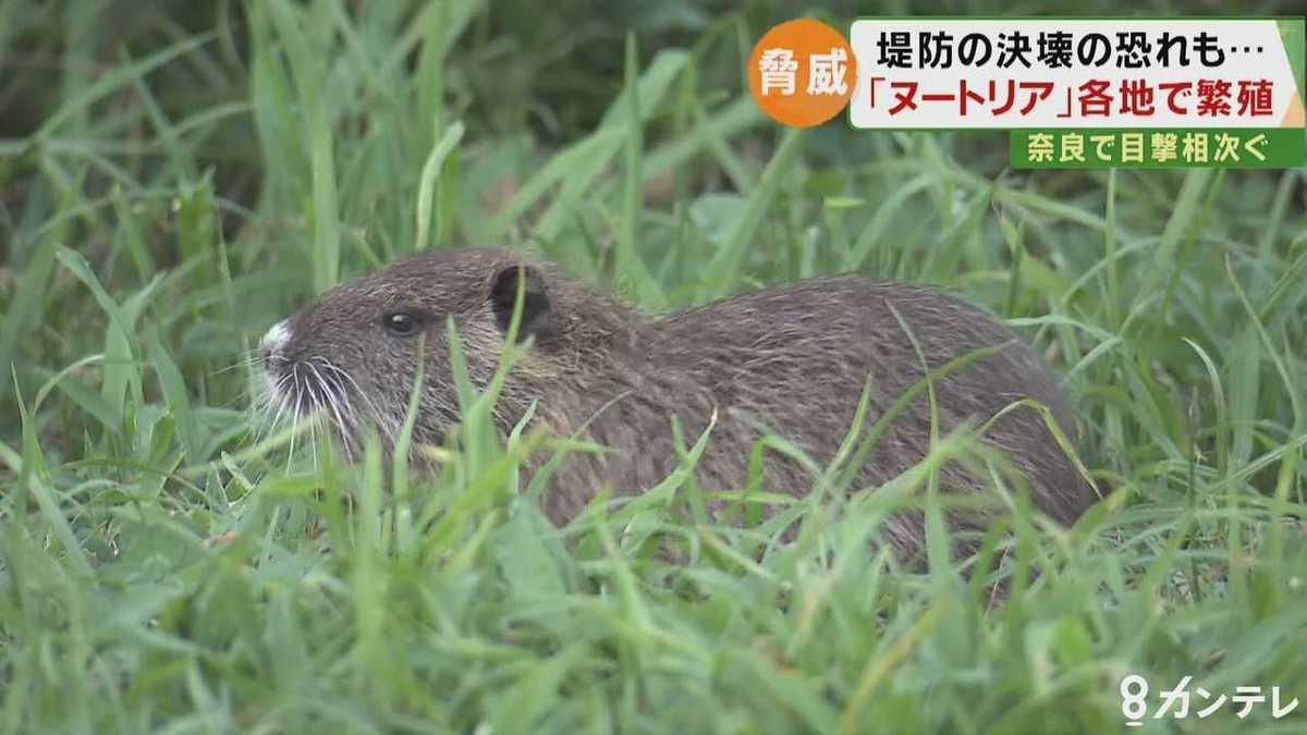 奈良県の川で『ヌートリア』!? 目撃相次ぐ 堤防を決壊させる深刻な ...