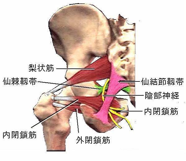 陰部神経痛の病態と現代鍼灸治療 ver.2.0 - 現代医学的鍼灸治療