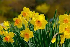 水仙(スイセン)の花言葉】ギリシャ神話が関係する花の意味を解説 ...