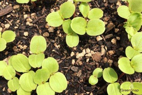 ホウセンカの育て方|種まきや苗植えの時期と方法は?いつ発芽する ...