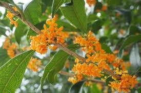 キンモクセイ(金木犀)の育て方!苗植えや鉢植え、挿し木の方法は ...
