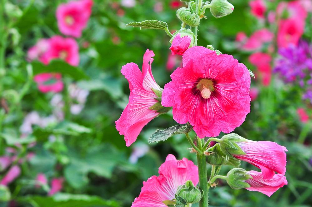 立葵(タチアオイ)の花言葉|花の季節や開花時期、種類は? - HORTI ...