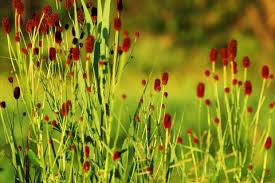 吾亦紅(ワレモコウ)の花言葉と育て方|名前の意味や見頃の季節は ...