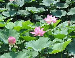 ハス(蓮)の花言葉|意味や花の特徴、種類は?睡蓮との違いは? - HORTI ...