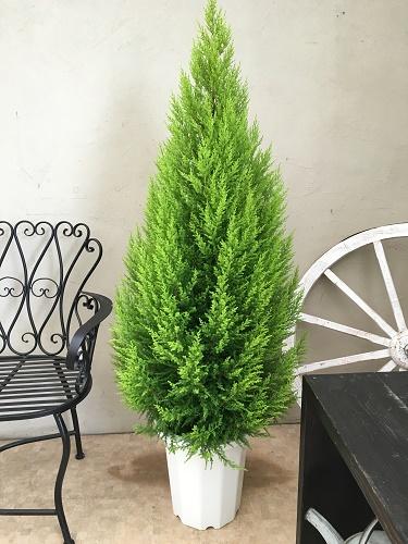楽天市場】ゴールドクレスト10号鉢 H150-170cm:大型観葉植物と造花の ...