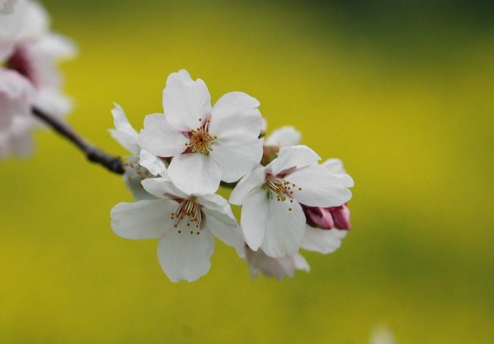 フリー素材無料写真 森の父さん花鳥風穴 » 桜 ソメイヨシノ