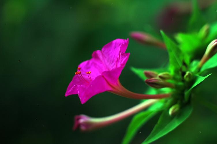 フリー素材無料写真 森の父さん花鳥風穴 » オシロイバナ
