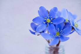 フリー写真] ミスミソウの花でアハ体験 - GAHAG | 著作権フリー写真 ...