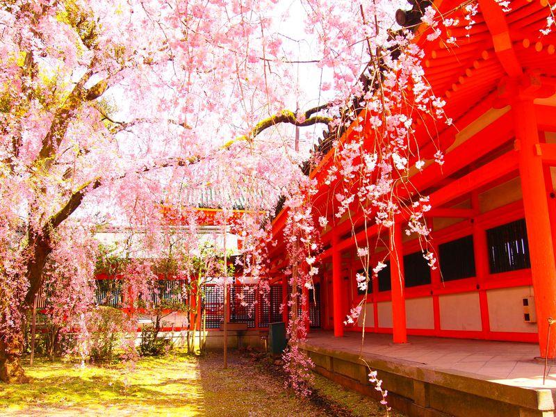 これこそ春!文豪も愛した京都「平安神宮・神苑」の八重紅しだれ桜 ...