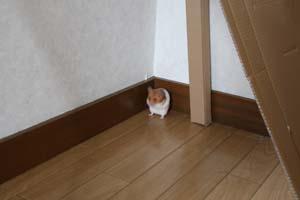 可愛いゴールデンハムスターと暮らす写真日記 部屋の隅で固まるハムスター