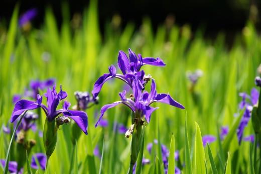 カキツバタの花・複数・紫4 4200pxの無料・フリー写真素材