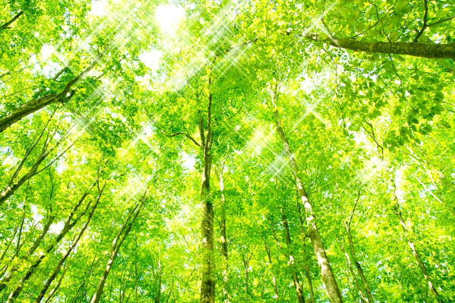 フリー写真] キラキラ光る木漏れ日と新緑のブナの木々でアハ体験 ...