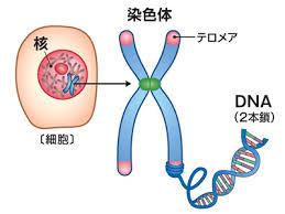 副腎のテロメア、高齢では男性が女性より短いと判明-都長寿研ほか ...