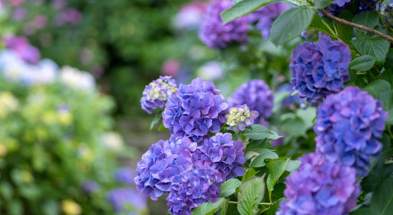 植木鉢で楽しみたい、初夏の花20選!うっとりするほど美しい草花たち ...