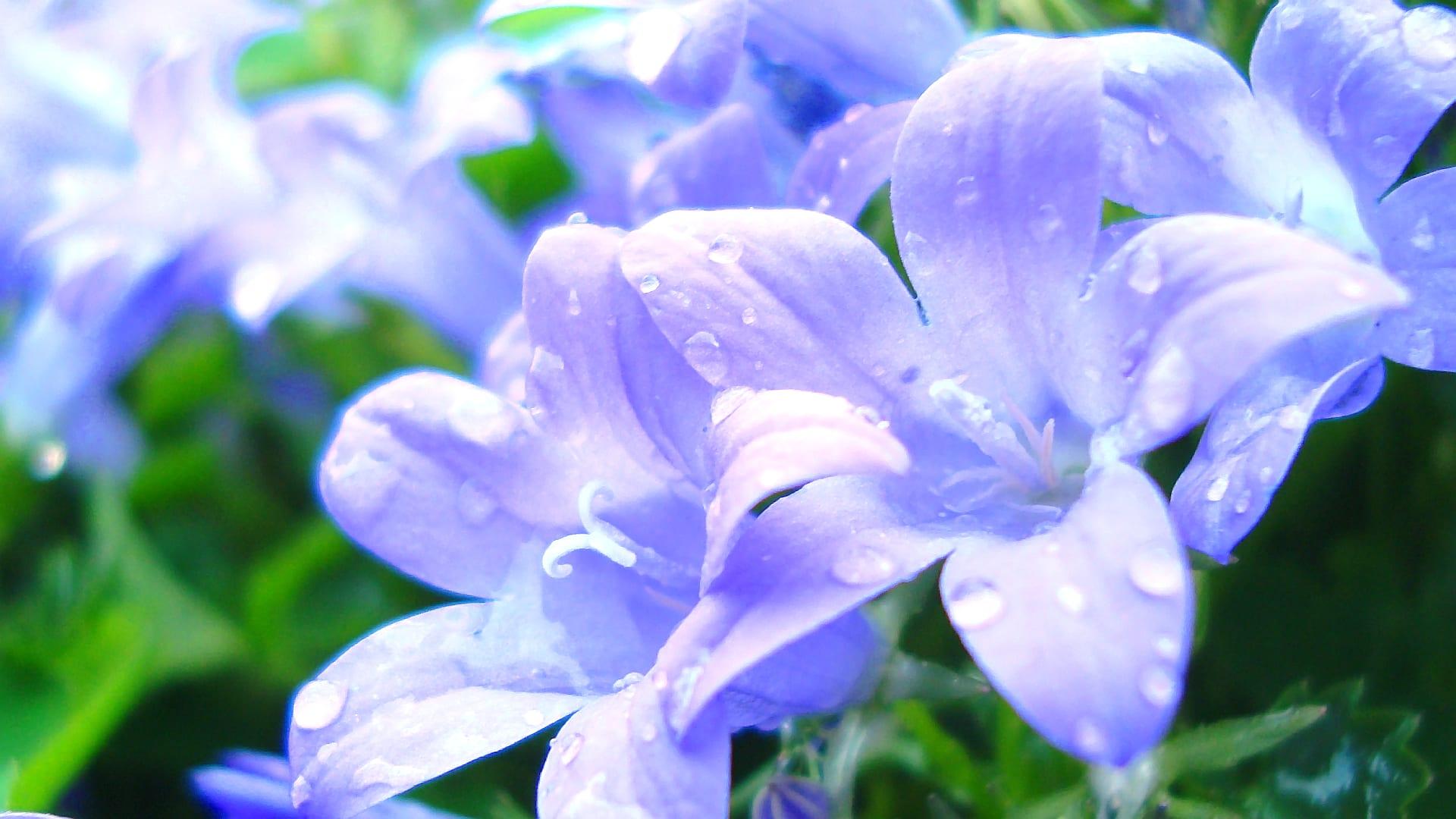 フリー素材】 庭の花を一枚だけ 乙女桔梗 - Nekotopな