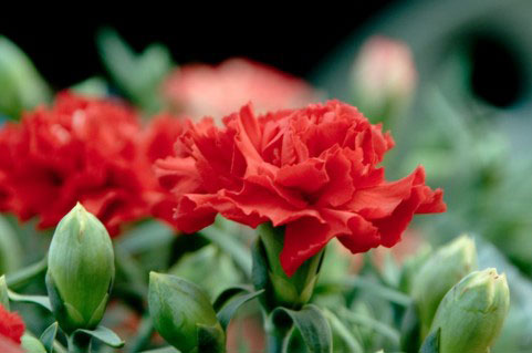 フリー素材 | 赤いカーネーションの花を撮影したフリー写真素材。背景 ...