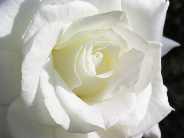 白バラのフリー写真素材・無料画像