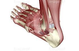 下半身 足の部分 足 筋肉 人体解剖学】の画像素材(15602434 ...