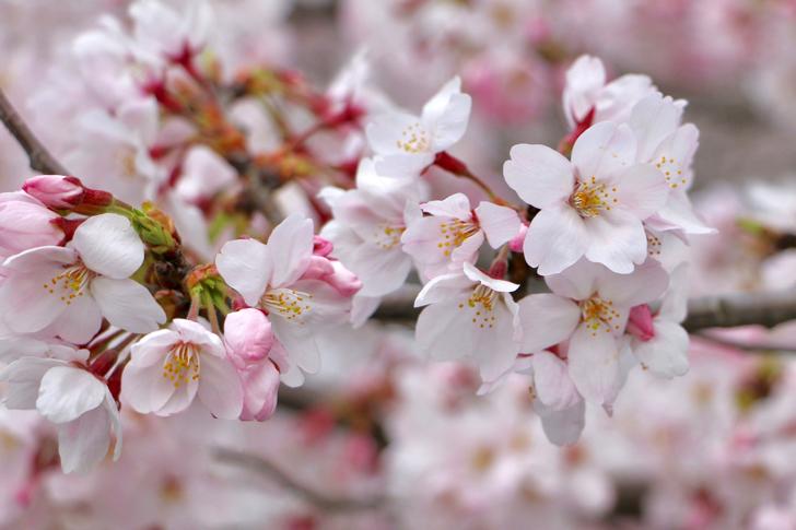 桜開花】多摩市のお花見スポットを探すなら観光マップがおすすめ ...
