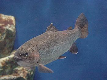 栃木県の管理釣り場 鬼怒川フィッシングエリア 主な対象魚